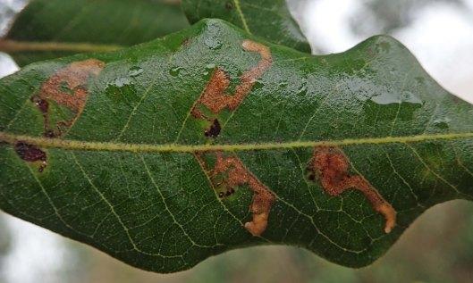 200222 ectoedemia heringella leafmines (1)