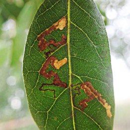 200222 ectoedemia heringella leafmines (2)
