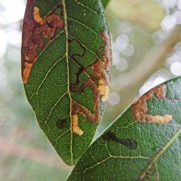 200222 ectoedemia heringella leafmines (3)