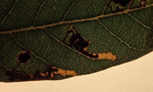 200222 ectoedemia heringella leafmines (4)