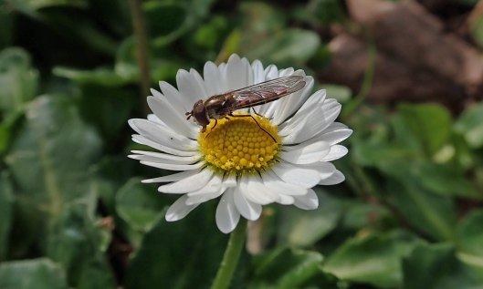 200224 Marmelade hoverfly