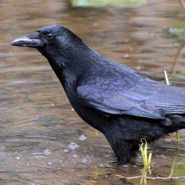 200229 crow
