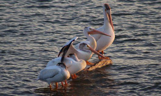 200304 american white pelican (1)