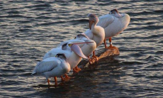 200304 american white pelican (2)