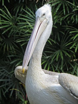 200304 great white pelican (2)