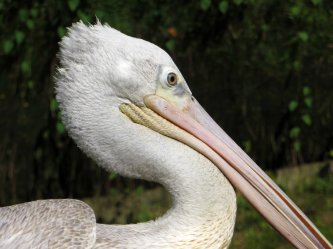 200304 great white pelican (3)