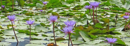 200318 waterlilies (8)