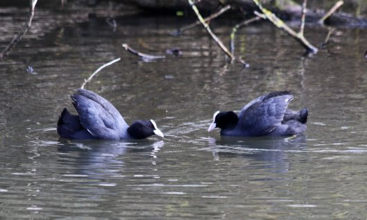 200313 coot (2)