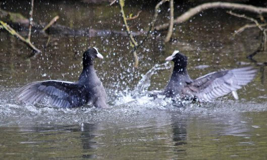 200313 coot (3)