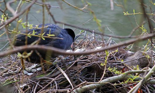 200313 coot (5)