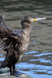200314 juvenile cormorants (5)