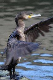 200314 juvenile cormorants (6)