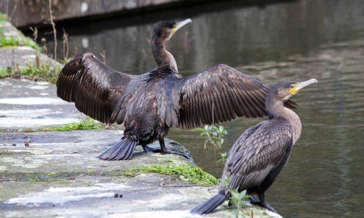200314 juvenile cormorants (7)
