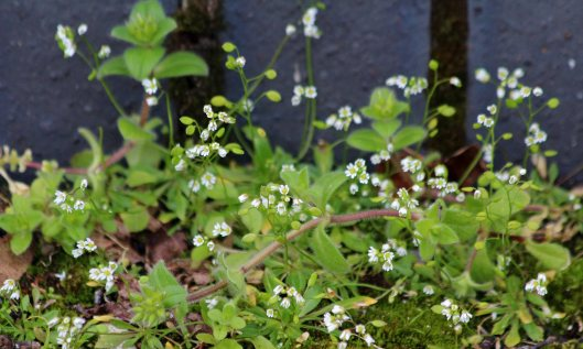 200322 Common whitlow grass