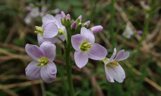 200322 cuckooflowers