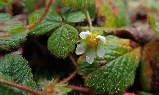 200329 barren strawberry