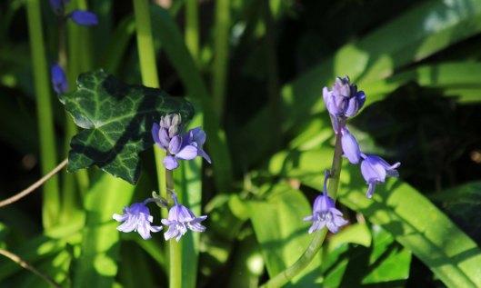 200331 bluebells (2)