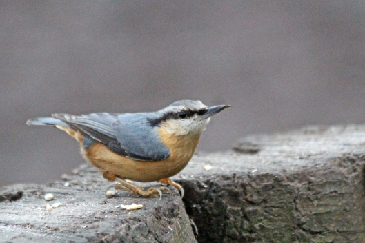 nuthatch 200102 cosmeston