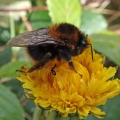 200404 11 buff-tailed bumblebee