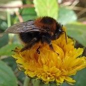 200404 11 buff-tailed bumblebee