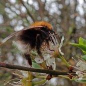 200404 13 buff-tailed bumblebee