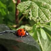 200404 15 7-spot ladybird