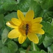 200404 2 Melanostoma scalare hoverfly