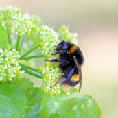 200404 3 buff-tailed bumblebee