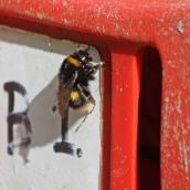 200404 4 buff-tailed bumblebee