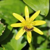 200404 8 lasioglossum sp