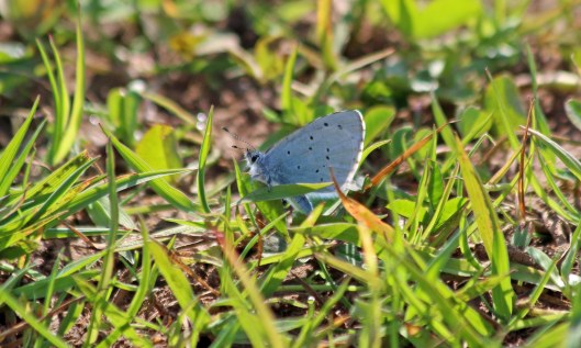 200411 holly blue (1)