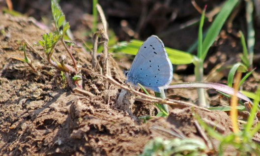 200411 holly blue (2)
