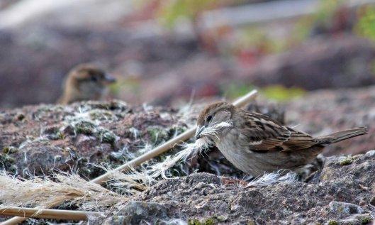 200413 sparrow (2)
