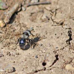 200414 ashy mining bee female (1)