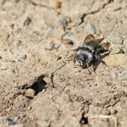 200414 ashy mining bee female (2)