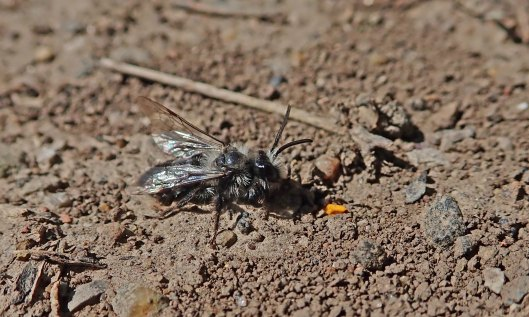 200414 ashy mining bee male (2)