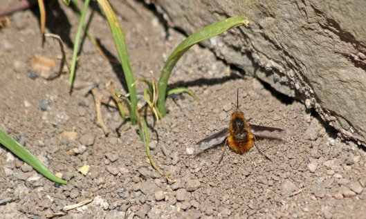 200414 dark-edged bee-fly
