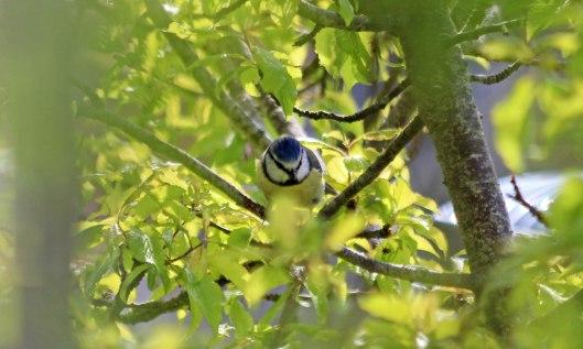 200416 2 blue tit