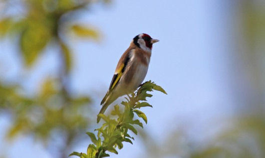 200416 3 goldfinch