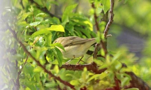 200416 4 willow warbler