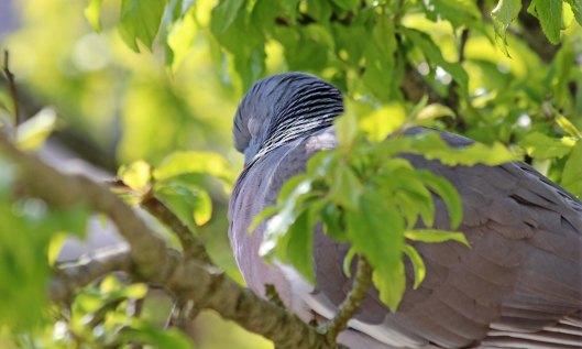 200416 5 woodpigeon