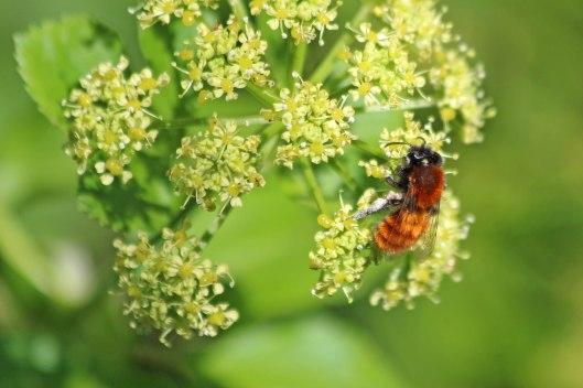 200417 Tawny mining bee (1)