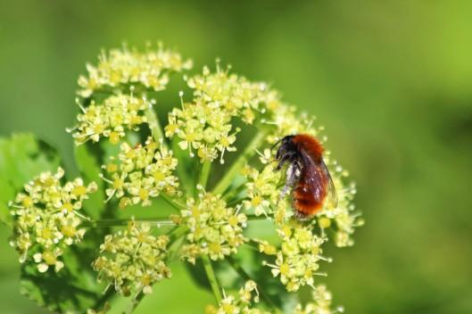 200417 Tawny mining bee (2)