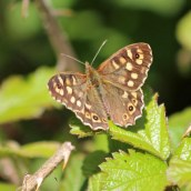 200418 speckled woods (5)