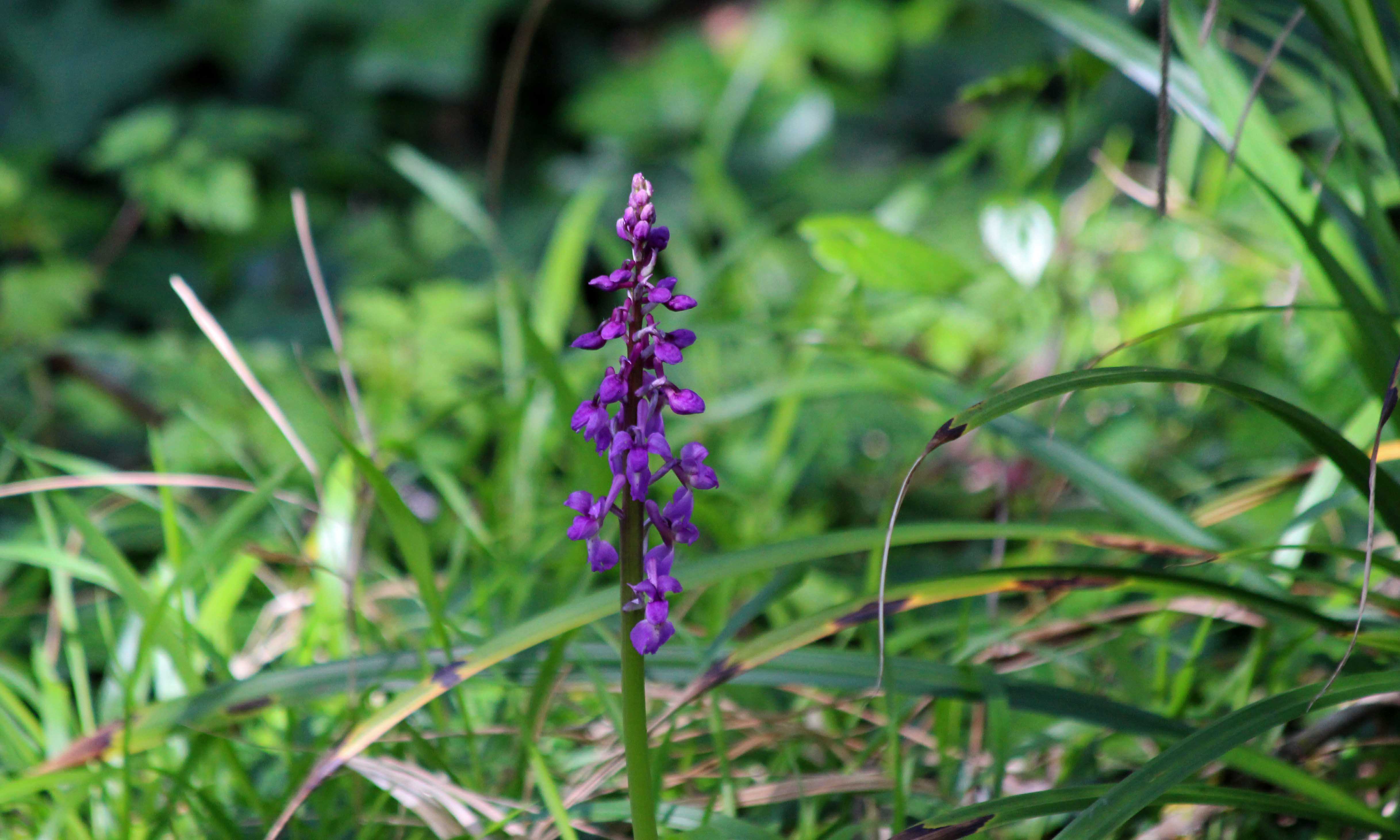 200419 early-purple orchids (1)