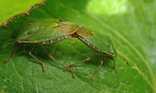 200420 2 green shieldbugs