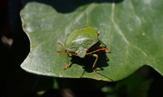 200420 green shieldbug