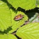 200422 hairy shieldbug (1)