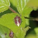 200422 hairy shieldbug (3)