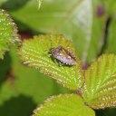 200422 hairy shieldbug (4)